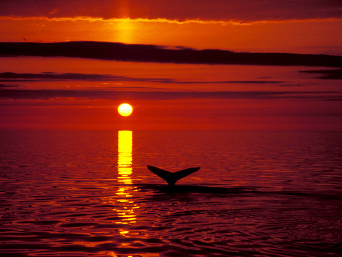 Hvalaskoun fr· H˙savÌk. Humpback whale in the midnight sun